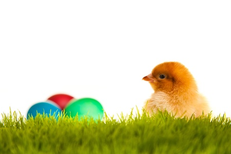 Easter eggs and chickens on green grass on white isolated background photo