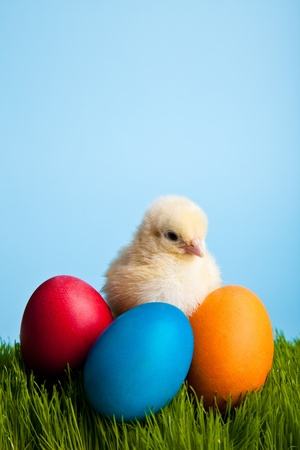 Easter eggs and chickens on green grass on blue background photo