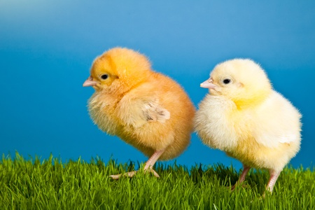 Easter eggs and chickens on green grass on blue background Stock Photo - 8819549