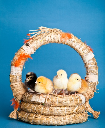 Easter chickens and eggs in backed on blue background photo