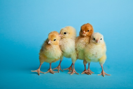 Easter eggs and chickens on blue background photo