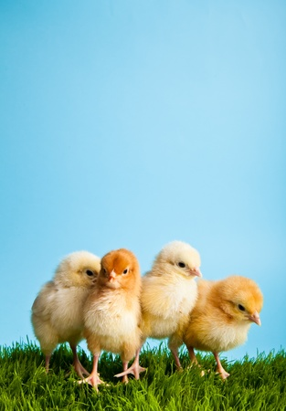 Easter eggs and chickens on green grass on blue background Stock Photo - 8819323