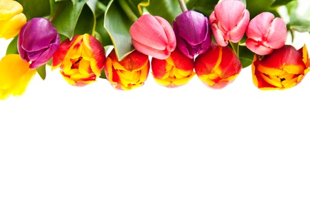Tulip flowers isolated on white Stock Photo - 9316987
