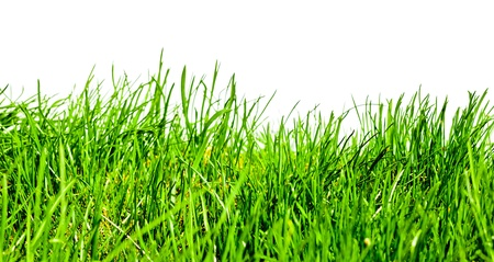 blades of grass: Isolated green grass