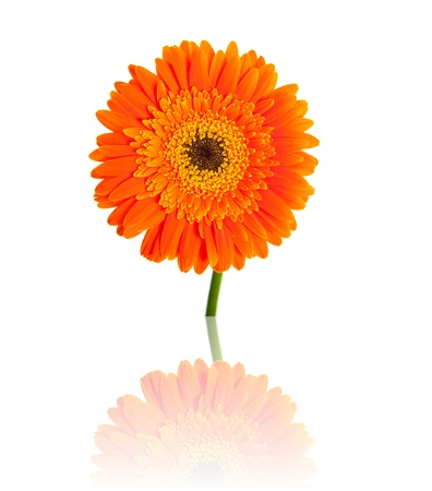 Gerbera flower isolated on white photo