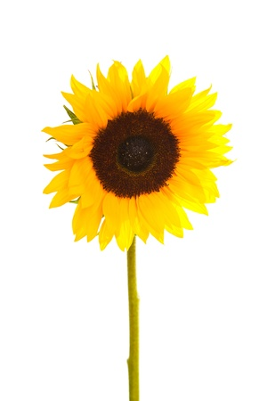 Sunflower isolated on white 写真素材