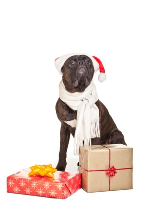 Christmas dog with presents isolated on white photo