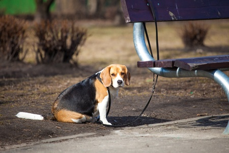 strapped: Beagle waiting strapped to bench