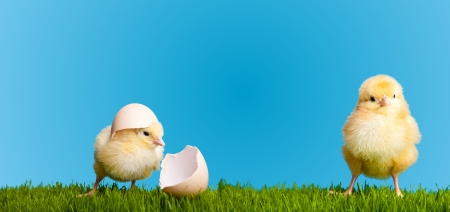 baby chick: Easter eggs and chickens on green grass on blue background