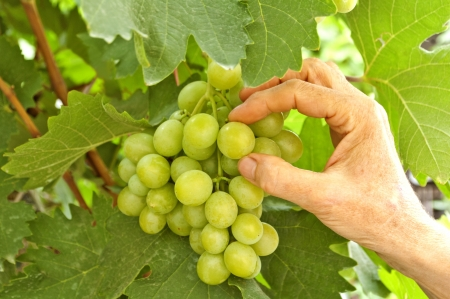 White grapes in wine yard, quality control