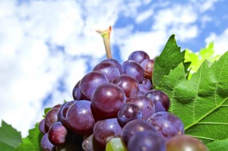 Fresh red grapes on bush