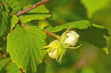 Green unripe hazelnuts on the tree  Stock Photo