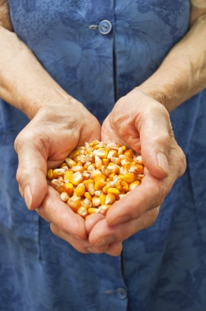 Corn in hands photo