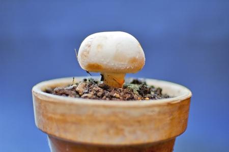 Mushroom in a ceramic pot, Agaricus bisporus