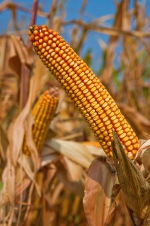 Corn cob at field
