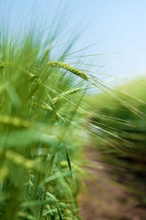 Green wheat filed Stock Photo - 15040484