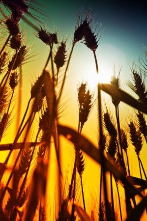 Yellow wheat Stock Photo