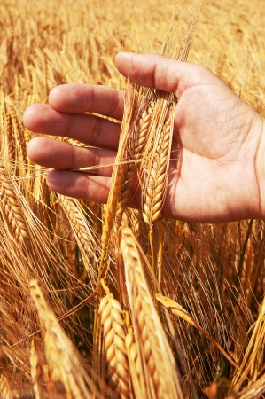 Wheat ears in the hand  Harvest concept Stock Photo
