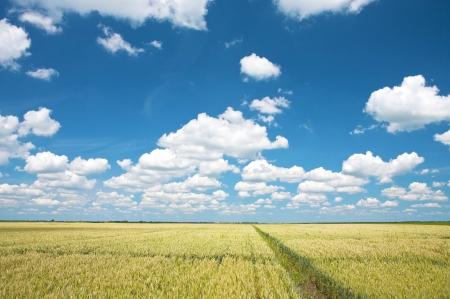 clouds sky blue: Wheat field and blue sky with clouds