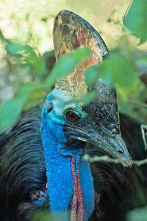 cassowary: Big australian cassowary Stock Photo