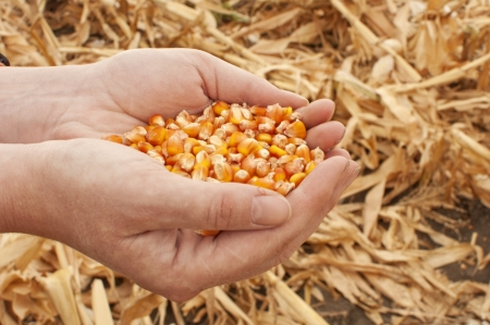 Corn seeds in a female hands