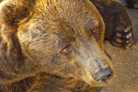 European brown bear photo