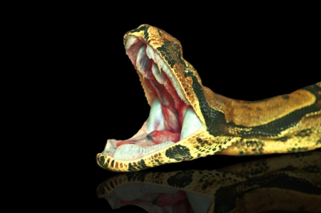 Royal boa, opens mouth
