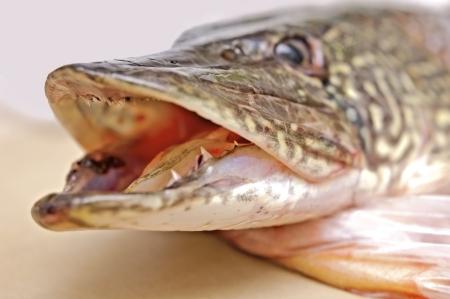 zander: Zander fish head with open mouth, focus on teeth