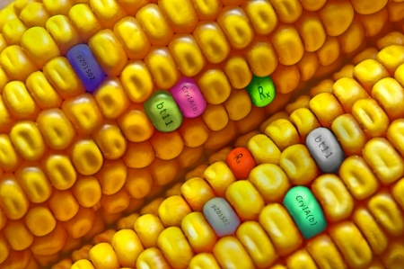 agricultural engineering: Gmo concept corn seed
