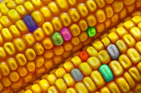 Gmo concept corn seed