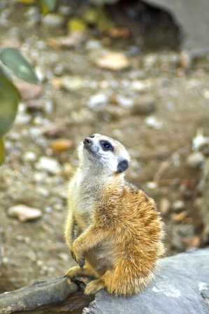 Watchful young meerkat standing guard  Stock Photo - 16630183