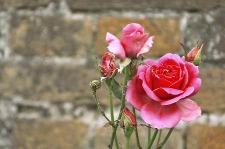 A closeup of beautiful pink roses