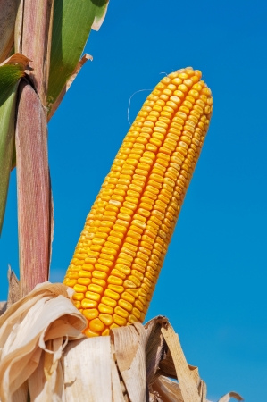 Yellow corn cob against the blue sky