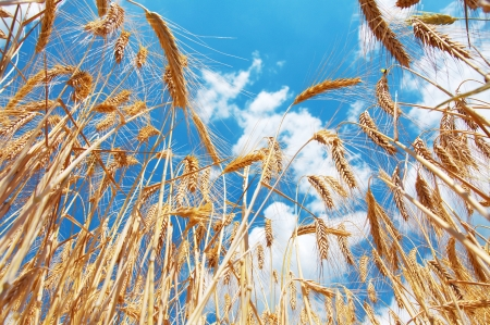 Wheat field and blue sky with clouds Stock Photo - 17219112