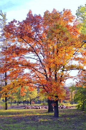 Colorful maple tree in the autumn park