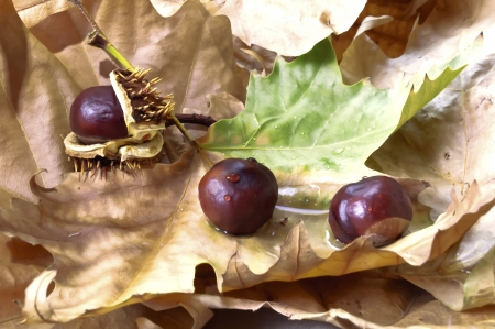 Chestnuts with autumn dried leaves Stock Photo - 17259514