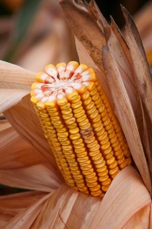 Yellow corn cob Stock Photo - 17380746