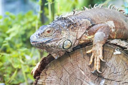 Big iguana on wood Stock Photo