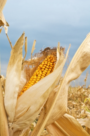 Yellow corn cob at field Stock Photo - 17380747