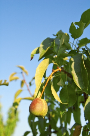 Fresh young pear hanging on tree Stock Photo - 17380748