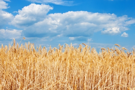 Gold wheat field and blue sky with clouds Stock Photo - 17380793