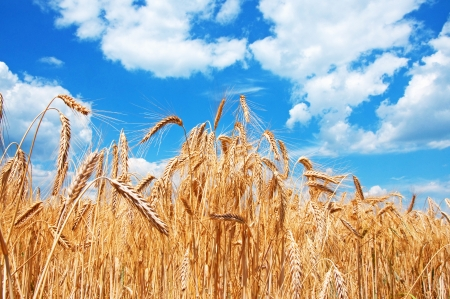 Gold wheat field and blue sky with clouds Stock Photo - 17544774