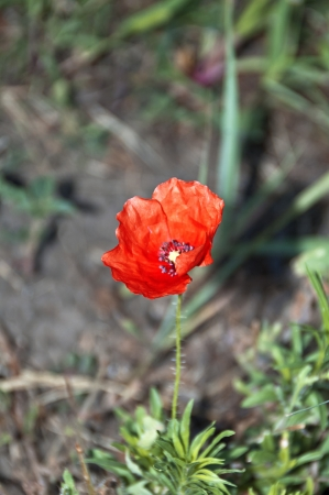 Red poppy on green grass background, single poppy Stock Photo - 17542003