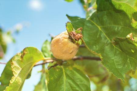 Fresh young quince hanging on tree Stock Photo - 17542004