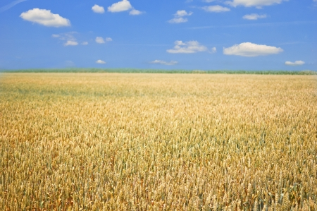 Gold wheat field and blue sky with clouds Stock Photo - 17542009