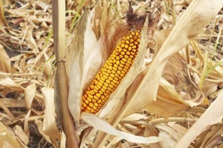Yellow corn cob at field