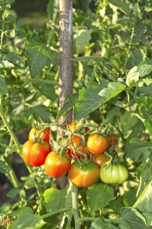 Fresh organic tomatoes in garden