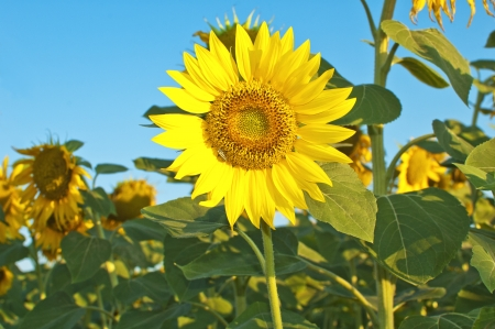 Beautiful sunflower blooming in summer Stock Photo