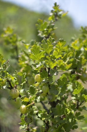 gooseberry bush: Fresh spring gooseberry bush with small leafs