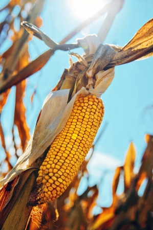 Corn cob shortly before harvest against blue sky and sun  Stock Photo